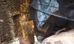 club apicole